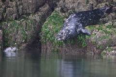 Seal (Martial2010) Tags: seal toxin vancouver island canada british columbia canon