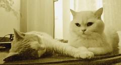 Trust... (Antiphane) Tags: chat cat chaton kitten british shorthair selkirk rex animal de compagnie pet