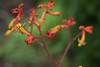 Garden-20170907-055.jpg (Eastlake) Tags: anigozanthos catspaw kangaroopaws