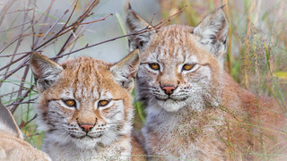 The Lynx Sisters