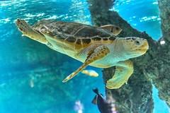sous l'océan (rondoudou87) Tags: pentax k1 nature natur wildlife wild water eau sea mer océan aquarium larochelle tortue turtle color couleur bleu blue fish poisson