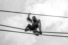 Orang oetan (Bart Weerdenburg) Tags: ouwehands monkey aap dierentuin zoo zwartwit blackandwhite orangoetan lookingup