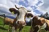 Niederösterreich Mostviertel Göstling Ybbs_DSC0134A (reinhard_srb) Tags: niederösterreich mostviertel göstling ybbs kuh alm weide biorind frei glücklich laufen rennen berge urlaub idylle gras milch sommer