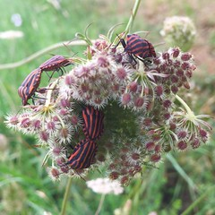 Intercourse on a flower (Remco van Baalen) Tags: insect intercourse