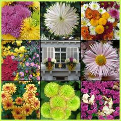 Chrysanthemum Poster 2 (Michael J. Woerner) Tags: november fallmums asteraceae chrysanths autumcolors postermums chrysanthemum autumflower