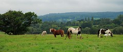Horsing Around in the Forest of Dean! (antonychammond) Tags: horses forestofdean landscape field tree gloucestershire england forest woods woodland contactgroups saariysqualitypictures