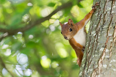 Je te vois! - I see you! (bboozoo) Tags: animal nature wildlife écureuil squirrel canon6d canon70300isiiusm arbre tree feuilles leaves