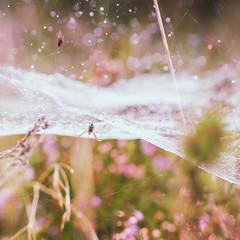 Baldachin of Bokeh (mordechaimalstrom) Tags: spider nature baldachin bokeh linyphiidae sony 50mm