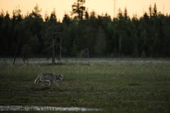 Loup de Finlande (02h06 AM) - in Explore (Samuel Raison) Tags: loup loupgris wolf graywolf greywolf wolfe nature animal wildlife finlande finland nikon inexplore explored explore nikond3 nikon4200400mmafsgvr animalplanet
