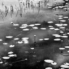 Lily pads (ronperry811) Tags: square silverefex flowers raindrops 11 lilypads blackwhite lilies bw rain novascotia cabottrail blackandwhite