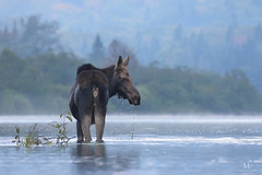 Moose - Orignal - Alces (Maxime Legare-Vezina) Tags: canada quebec animal wild mooring matin kayak wildlife canon passion eau water montagne moontain river rivière forêt forest brume mist