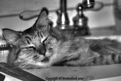 The Cat In the Sink (fishmonger45) Tags: cats bw monochrome photoshop photomatix greatphotographers hdraddicted hdr hdrphotomatix