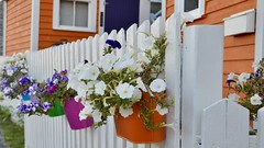 Flowers on a Fence (vanessa violet) Tags: fence colour orange flowers beautiful pink green blue nikon hff