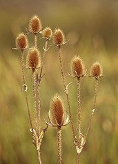 The Teasel King (mtmelody14) Tags: weeds plant briars teasel