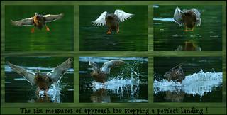 ~ Mallard landing 101 ~*~
