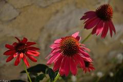 Échinacées (Mystycat =^..^=) Tags: échinacées fleurs aubeterresurdronne sudouest charente france poitoucharentes echinacea nouvelleaquitaine fr
