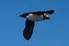 Puffin in flight (martinstelbrink) Tags: puffin papageientaucher bird vogel seabird seevogel witlessbay witlessbayecologicalreserve obrienswhaleandbirdtours baybulls newfoundland newfoundlandandlabrador canada kanada sony alpha77ii a77ii sigma120400mmf4556 sigma tele