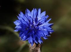Wildblume (Hugo von Schreck) Tags: hugovonschreck macro flower blume makro blüte wildblume wildflower canoneos5dsr tamron28300mmf3563divcpzda010