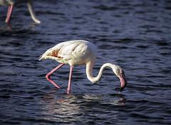 IMG_9476 (ibzsierra) Tags: ibiza eivissa baleares canon 7d tamron 150600 g2 ave bird oiseau flamenco flamingo salinas parque natural