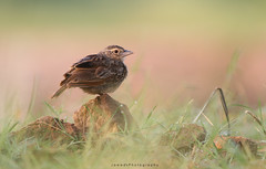 Bangal Bush-Lark (Jawad_Ahmad) Tags: naturephotographer nature naturephotography beautyofnature beautiful birdslover natural naturelover colors morning birds wildlifephotography wildbird flicker jawadsphotography sialkot pakistan