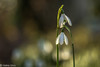 Flowers-5 (niekeblos) Tags: snowdrops spring flowers flower bokeh nature together canon60d macro