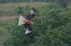 Red Kite - Rode Wouw - Milvus milvus -7472 (Theo Locher) Tags: redkite rodewouw rotmilan milanroyal milvusmilvus vogels birds vogel oiseaux schotland scotland copyrighttheolocher