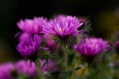 Asters (mclcbooks) Tags: flower flowers floral macro closeup asters denverbotanicgardens colorado summer b