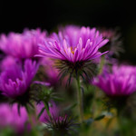 Asters thumbnail