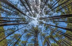 Trees (aurlien.leroch) Tags: france corse gr20 refugedepaliri conca trees nikon fisheye nature landscape