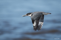 _DSC4982 (P2 New) Tags: 2016 alcedinidae animaux coraciiformes costarica date décembre martinpêcheurvert oiseaux pays riotarcoles provinciadepuntarenas