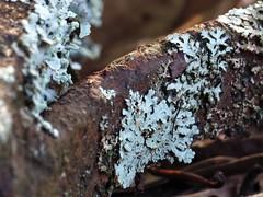 Rust, lichen, spider silk (Explored 091117) (woody329) Tags: macromonday rust lichen spidersilk canon powershot sx50 hs sx50hs