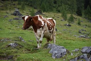 Braun und Weißes Pinzgauer Fleckvieh -  Brown and White Pinzgauer Cow
