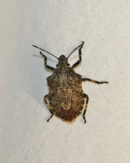 Halyomorpha halys, Brown Marmorated Stink Bug