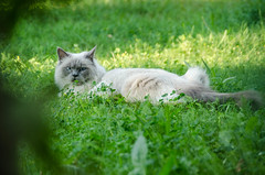 """Birma Katze • <a style=""""font-size:0.8em;"""" href=""""http://www.flickr.com/photos/120308408@N08/36848350975/"""" target=""""_blank"""">View on Flickr</a>"""