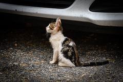_DSC0696 (carlo_gra) Tags: nikon 7500 gavi nature hills piemonte farm cats wine vino tractor hay meadow