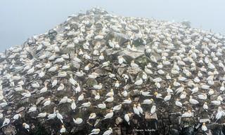 Gannets everywhere
