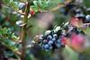 Frutos del bosque (Alicia (AF-FM)) Tags: flora frutosdelbosque 7dwf