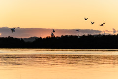 Daybreak Waterscape with Flying Cockatoos Silhouettes (Merrillie) Tags: view woywoy color nature australia birds water cockatoos weather newsouthwales light brisbanewater nsw scene silhouettes scenery coastal dawn coast scenic daybreak sky waterscape sunrise centralcoast landscape bay