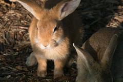 Golden Bun (jasohill) Tags: color face bun nature iwate early animal summer bunny hachimantai funny photography life rabbit floppy 2017 japan angry