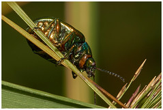 Tansy Beetle. (vegetus aer) Tags: woodwaltonfen greatfen greatfenproject wildlifetrust bcnwildlifetrust nnr cambridgeshire tansy beetle tansybeetle sony a77m2 sigma 105mm macro