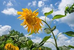 Sunlower (Helianthus), Mae Sot Thailand (JJ Doro - Bangkok) Tags: helianthus maesot seasia sunflower thailand flower golden tambonthasailuat tak th
