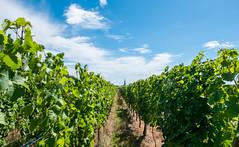 Vignes (TotoFABRE) Tags: alsace scherwiller été summer france vignes vin wine ciel sky eglise clocher church fujifilm xm1