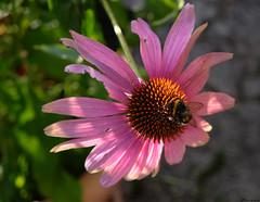 the rest of summer... (vreny_) Tags: summer sun feeling plant pflanze blume flower fleure nature natureshot natur fuji xt2 outdoor insekt animal tier makro macro
