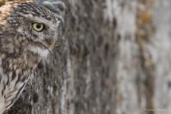 Les murs ont-ils aussi des yeux ??? (Cathie Clemot) Tags: littleowl chevêchedathéna athenenoctua strigidés strigiformes vendée france