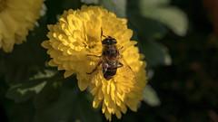 Blume mit Biene (p.schmal) Tags: panasonicgx80 hamburg farmsenberne chrysanthemen