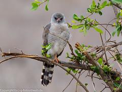 Gabar Goshawk (xrxss15) Tags: accipitridae africa animalia animals aves birds gabargoshawk gabarhabicht kiteshawksandeagles krugernationalpark micronisusgabar mpumalanga southafrica tiere vögel outofacar