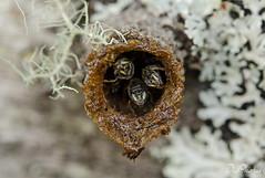 DSC_3243 (DigiPhotus) Tags: digiphotus abelha bee insect insectos inseto insetos insetto insecte insekt insekter insekte insekten insecten insektet insectes insetti izimbali macro macrodreams besouro mariposa