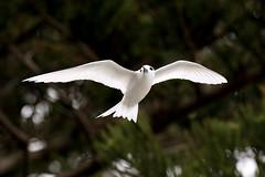 White Tern (Gygis alba) (patrickkavanagh) Tags: whitetern gygisalba lordhoweisland