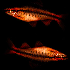Pisces Squared (Mark Wasteney) Tags: fish pisces twins two macro closeup upclose cherrybarb animal photoshop