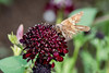 Butterfly 2 (gdajewski) Tags: d750 dajewski nikond750 sb900 tokina100mmf28atxm100afprodmacro butterfly flash gdajewski speedlight fx fullframe